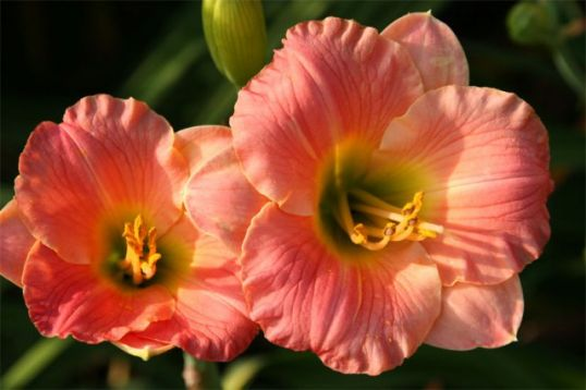 "Hemerocallis ""pink puff"" - denivka"