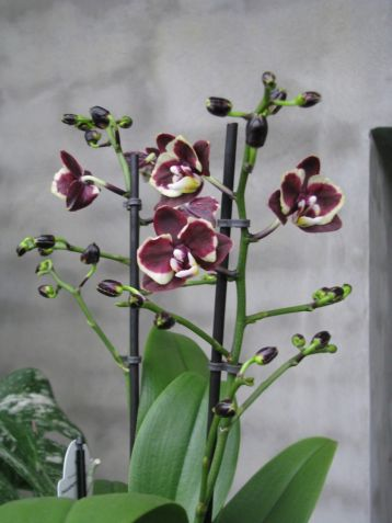 "Phalaenopsis ""brown sugar"""