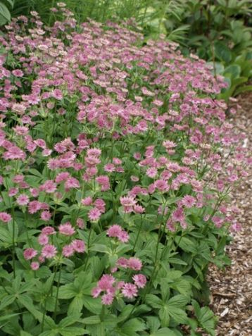 "Astrantia major ""pink pride"""