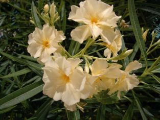 "nerium oleander ""double yellow"" - oleandr"