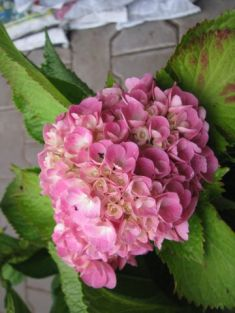 "hydrangea macrophylla "" forever&ever ® "" pink """