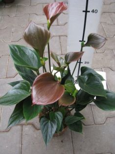 "anthurium ""anthedesia chocolate"""