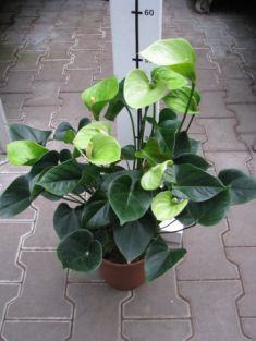 "anthurium andreanum ""anthedesia green"" - anturie , toulitka"