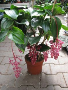 "Medinilla magnifica ""new purple"""