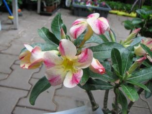 "adenium obesum ""star of yellow dream"" - pouštní růže"
