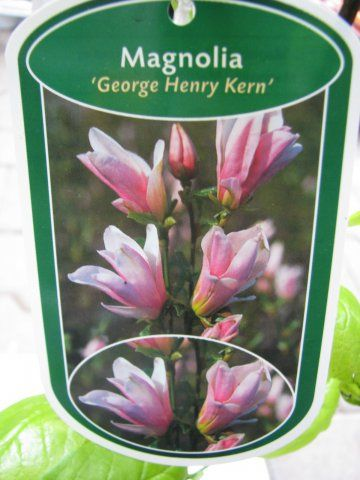 magnolia x liliiflora george henry kern kv tin stv. Black Bedroom Furniture Sets. Home Design Ideas