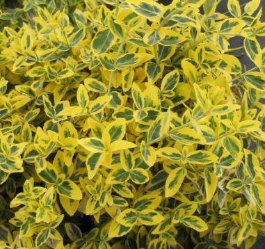 "Euonymus fortunei ""emerald""n gold"""