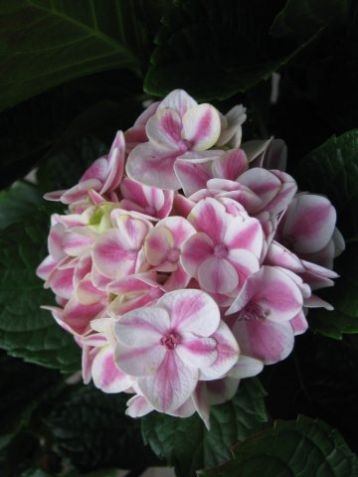 "Hydrangea macrophylla ""forever&ever ®"" peppermint - hortenzie"
