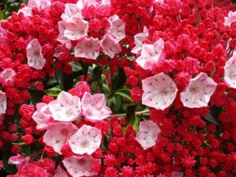 "Kalmia latifolia ""ostby red"""