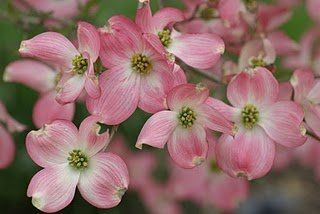 "Cornus florida ""sunset"""