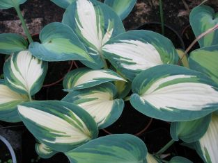 "Hosta ""touch of class"""