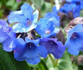 "pulmonaria hybrida ""blue ensign"" - plicník"