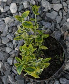 "Euonymus fortunei ""emerald´n gold"""