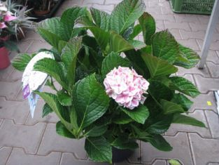 "hydrangea macrophylla "" forever&ever ® "" peppermint "" - hortenzie"