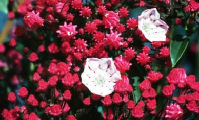 "kalmia latifolia ""ostbo red"""