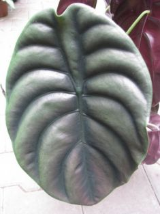 "alocasia ""red secret"""