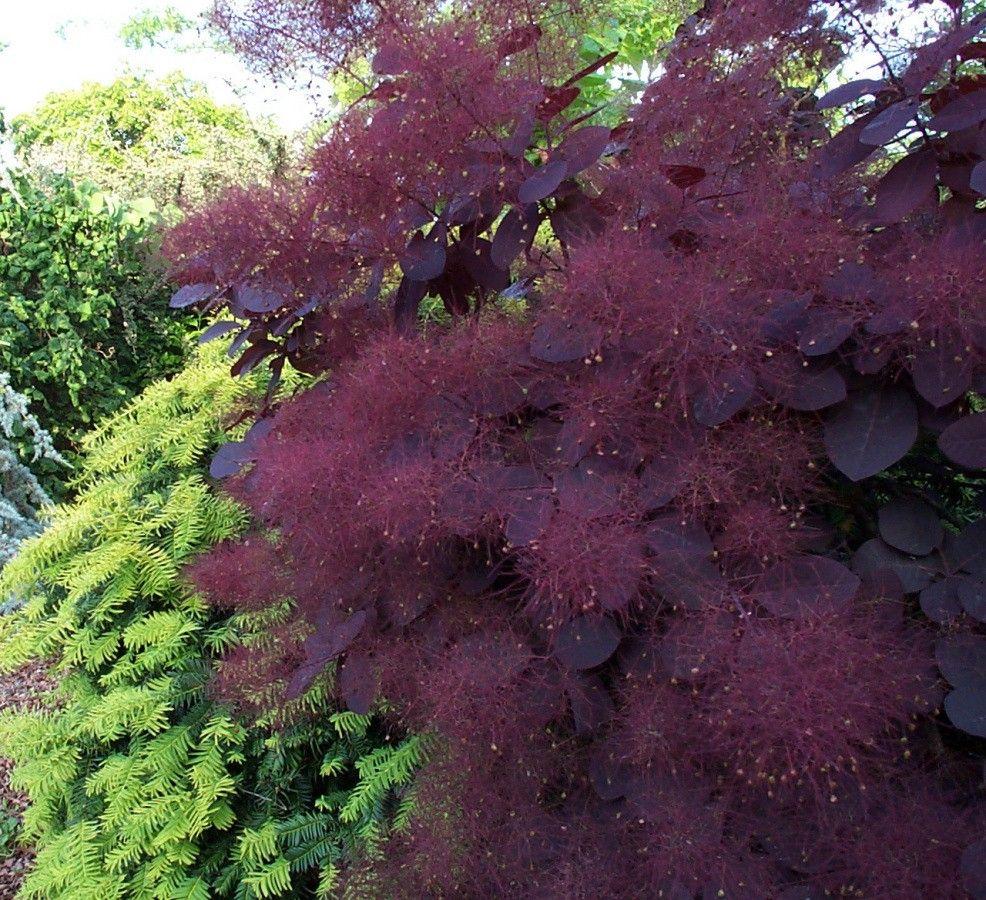 "Cotinus coggygria ""royal purple"" — Florist's Plantica"