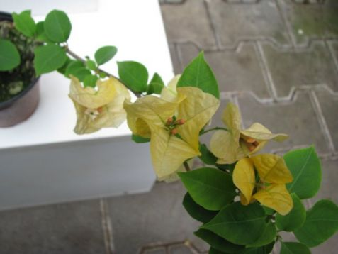 "Bougainvillea ""golden duibloon"" - buganvilea"