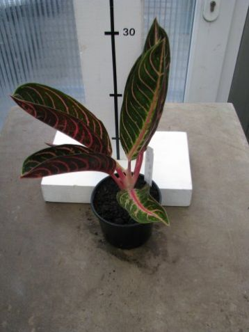 "Aglaonema commutatum ""pride of sumatra"""
