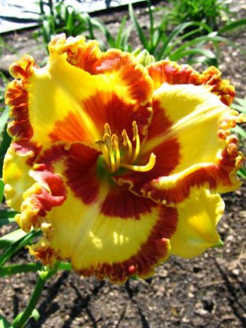 "Hemerocallis ""lady betty fritz"""