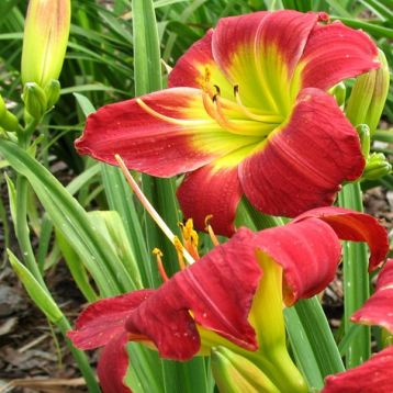 "Hemerocallis ""christmas is"""