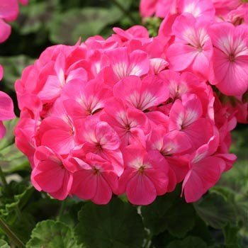 "Pelargonium zonale f1 ""horizon rose"""
