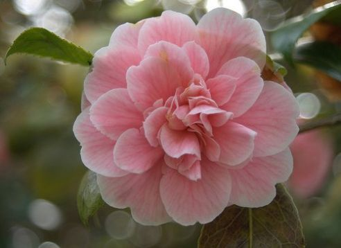 "Camellia ""pink diddy"""