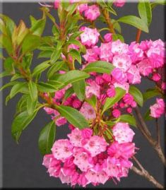 "kalmia latifolia ""little linda"""