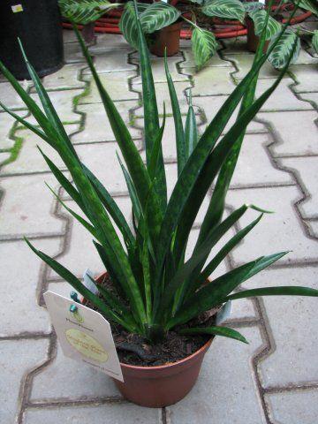 Sansevieria Kirkii Quot Friends Quot Florist S Plantica