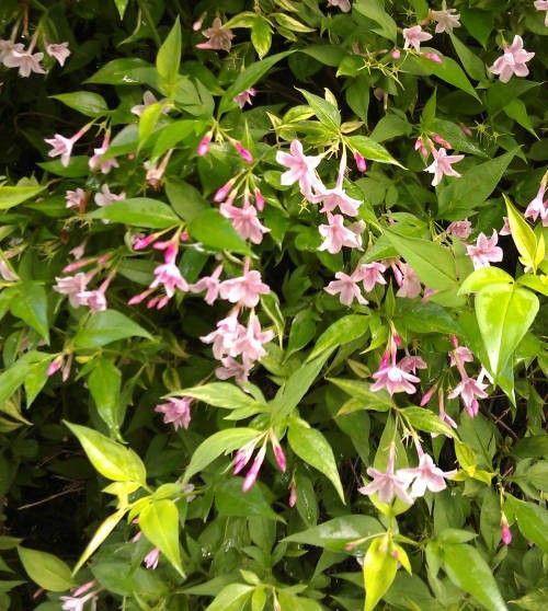 Jasminum beesianum Rosa Jasmin 40-60 cm