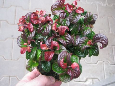 "Leucothoe axillaris ""curly red"" - leukotoe"
