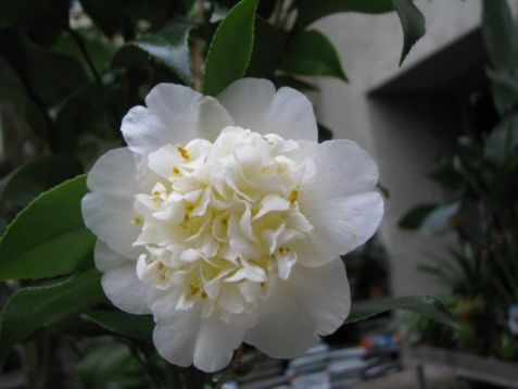 "Camellia x williamsii ""jury""s yellow"""