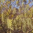 "stachyurus chinensis ""joy forever"""