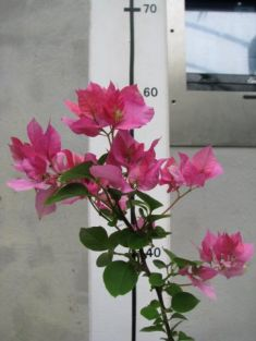 "bougainvillea ""bridal bouquet"""