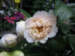 "camellia x williamsii ""jury´s yellow"""