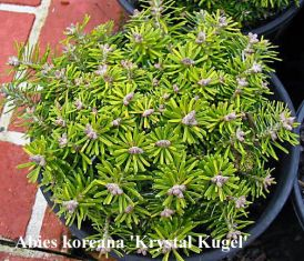 "Abies koreana ""crystal kugel"""