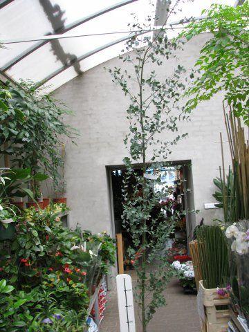 Eucalyptus Gunni Florists Plantica