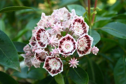 "Kalmia latifolia ""olympic wedding"""