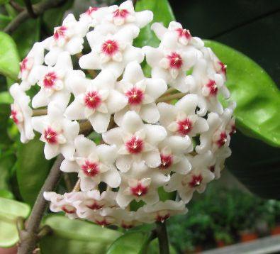 "Hoya carnosa ""eight krinkle"""