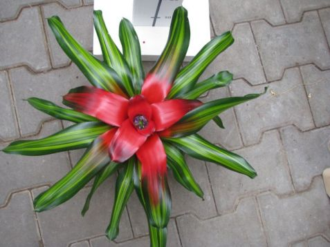 Neoregelia red, yellow variegated leaves