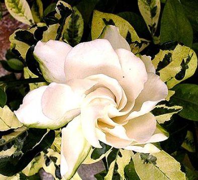 Gardenia jasminoides variegata — Florist's PlanticaGardenia Jasminoides Variegata