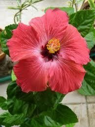 "Hibiscus sinensis ""painted lady"""