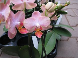 "phalaenopsis ""little mermaid"""