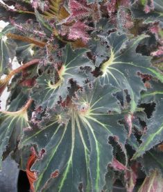 "begonia ""break dance"""