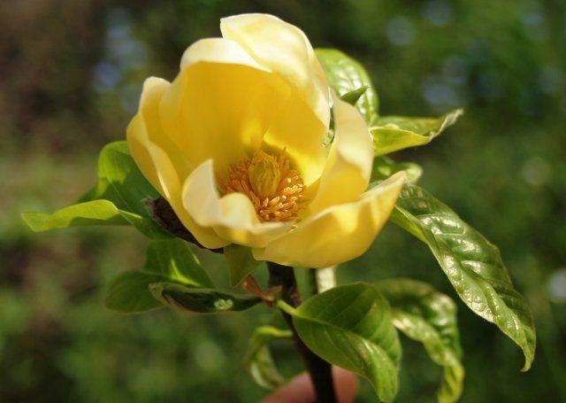magnolia yellow river magnolie vanilkov lut. Black Bedroom Furniture Sets. Home Design Ideas