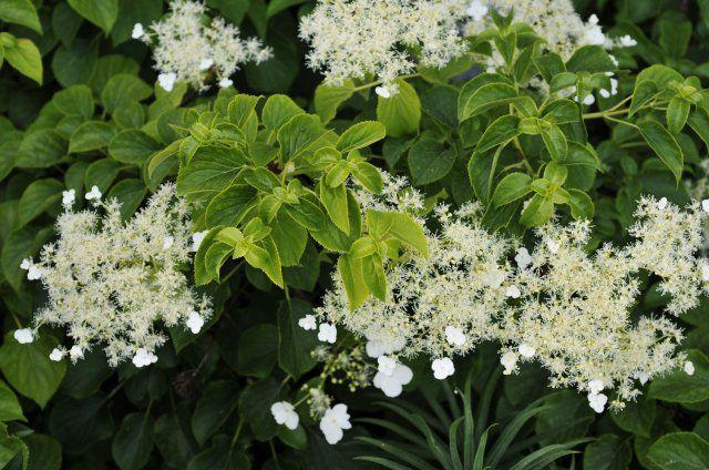Hydrangea petiolaris hortenzie ap kat pnouc - Ortensia rampicante petiolaris ...