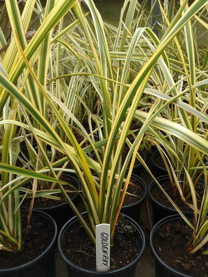 Phormium Tenax Quot Golden Ray Quot Florist S Plantica