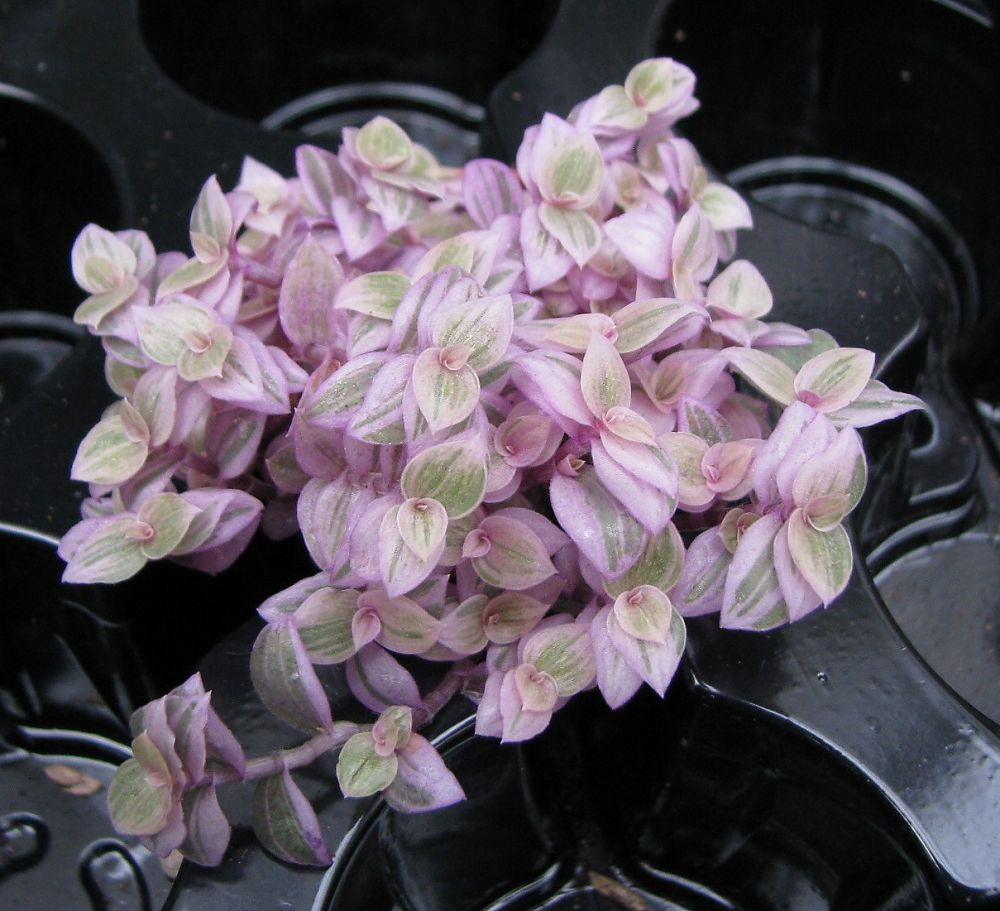 Callisia Repens Pink Panther Florists Plantica