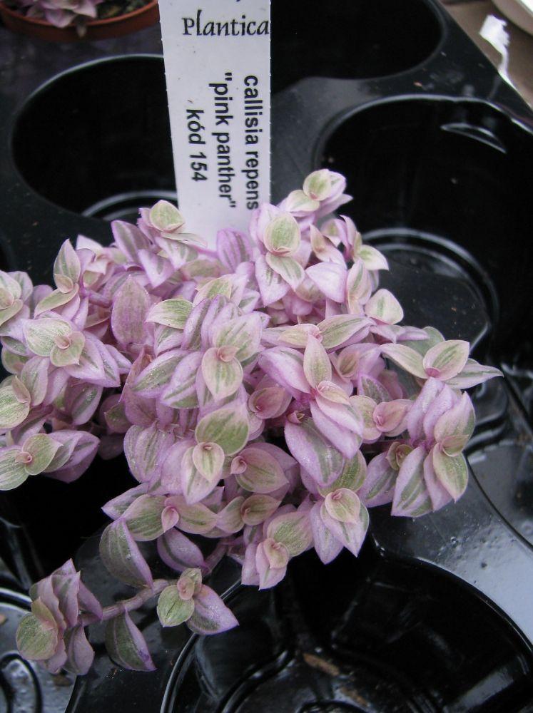 Callisia repens pink panther florists plantica callisia repens pink panther mightylinksfo