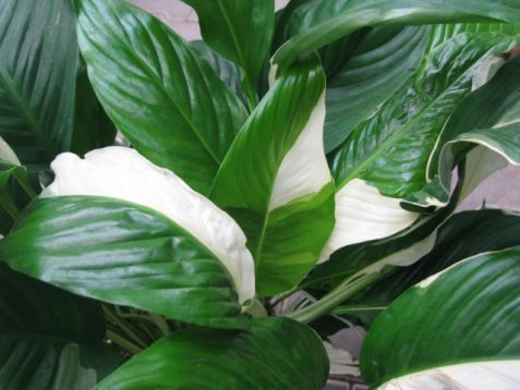 "Spathiphyllum ""sweet picasso"""